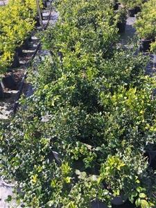 3 x Mock Orange - Murraya Paniculata