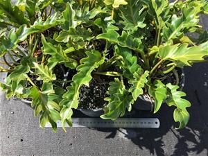 6 x Philodendron – Xanadu