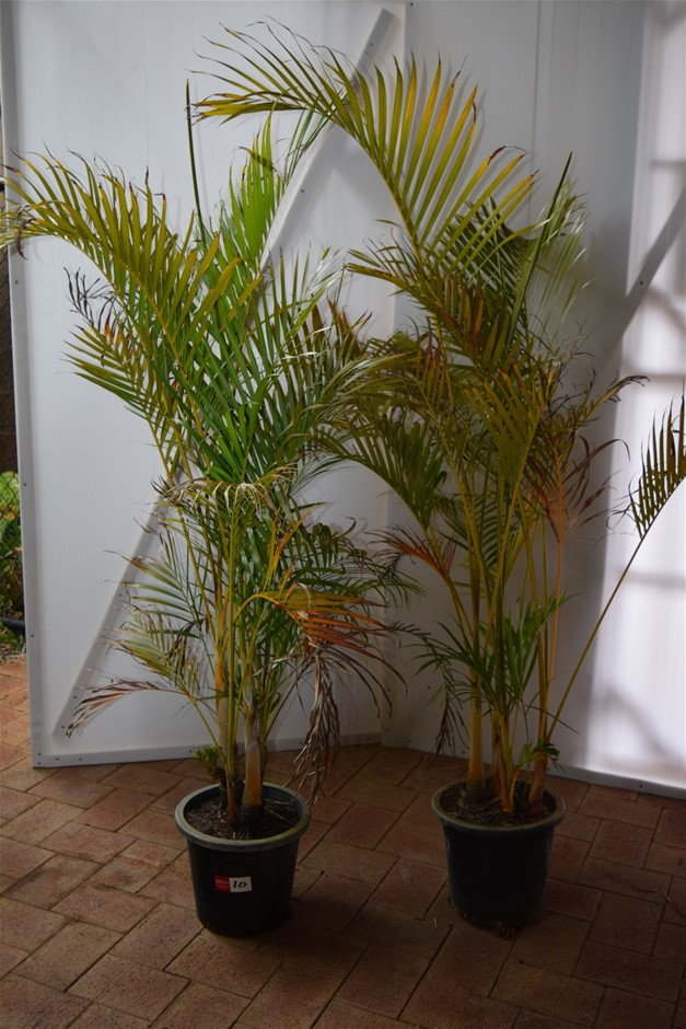 (Bid Price Per Each) Approximately 6 Foot Golden Cane Palms