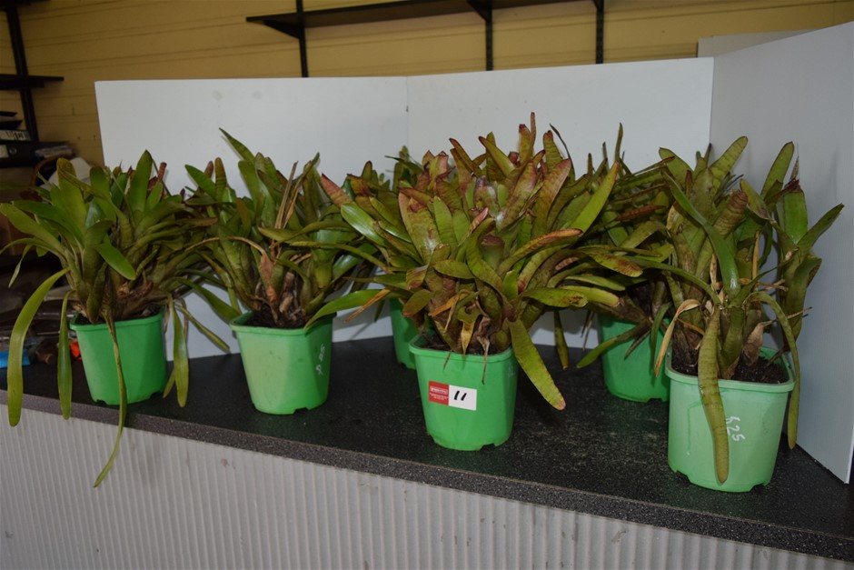 Lot of 6 Bromeliads In 200ml Pots