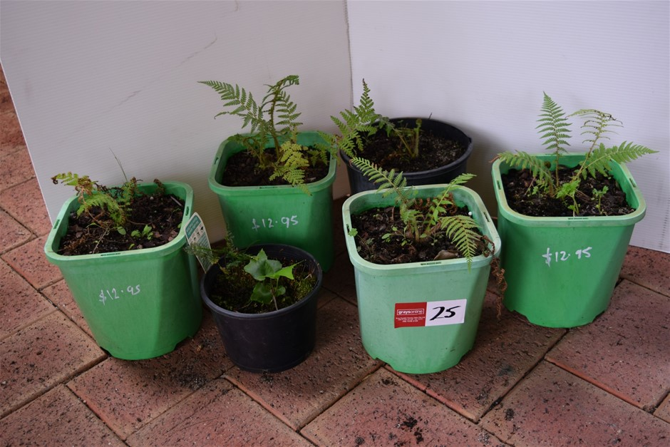 "Lot of 6 ""Ferns"" In 200ml Pots"
