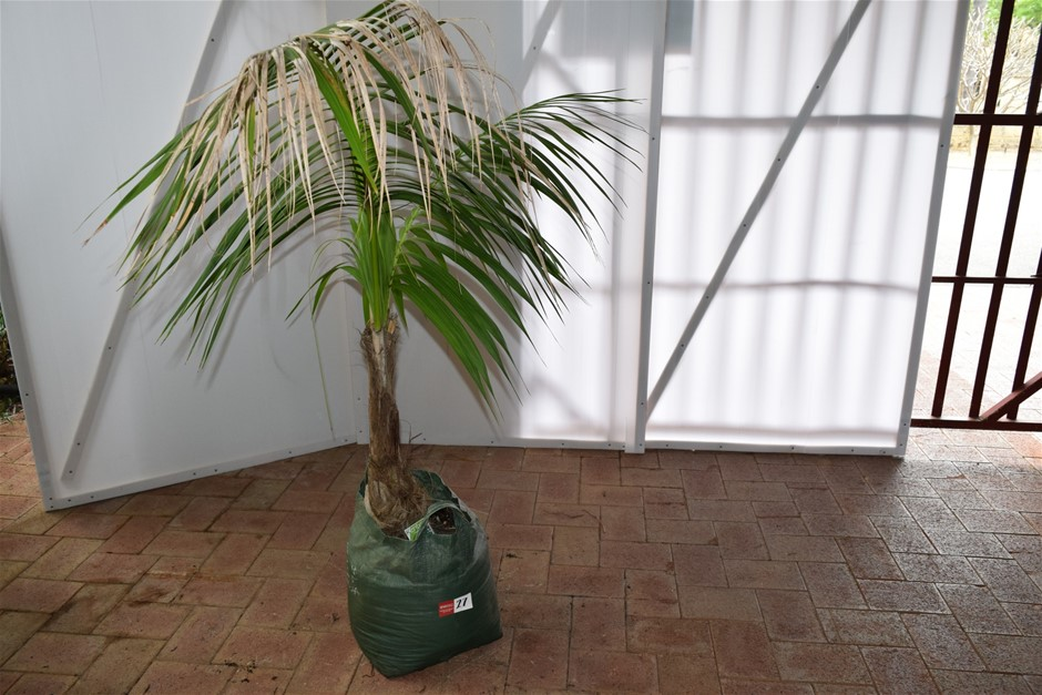 Approximately 4 Foot Kentia Palm In 45 Litre Pot