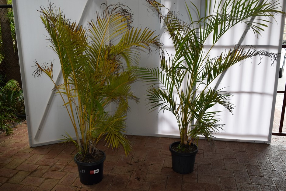 (Bid Price Per Each) Approximately 4 Foot Golden Cane Palms