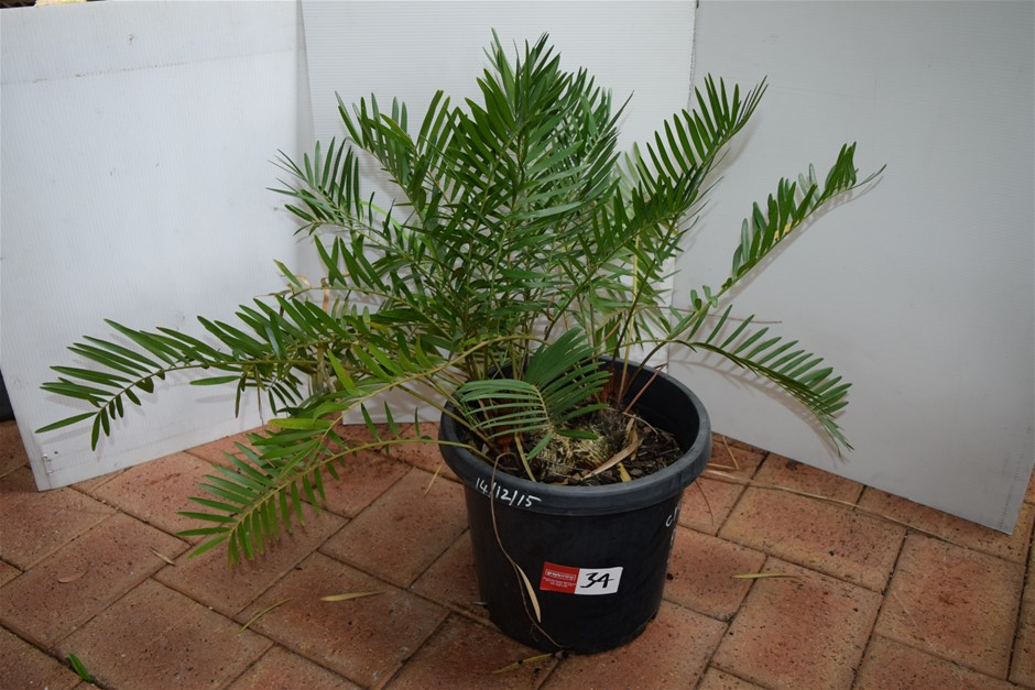 """Cycad Pumila"" In 300ml Pot"