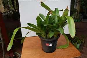 "Large ""Bromeliad"" In 300ml Pot"