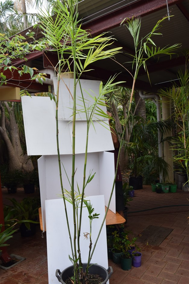"""Bamboo Palm"" In 45 Litre Pot"