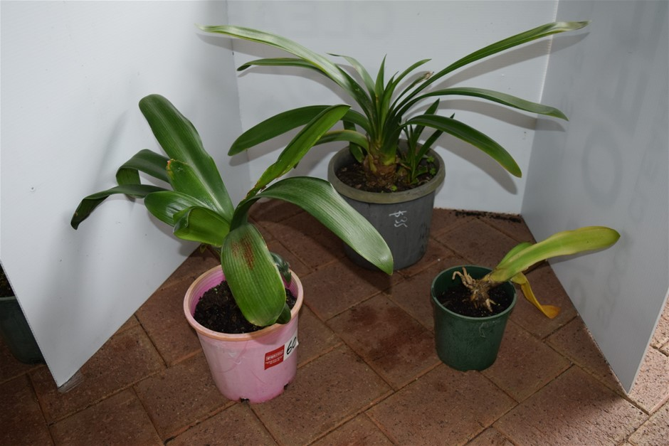 "Lot of 3 ""Bromeliads"" In Various Size Pots"