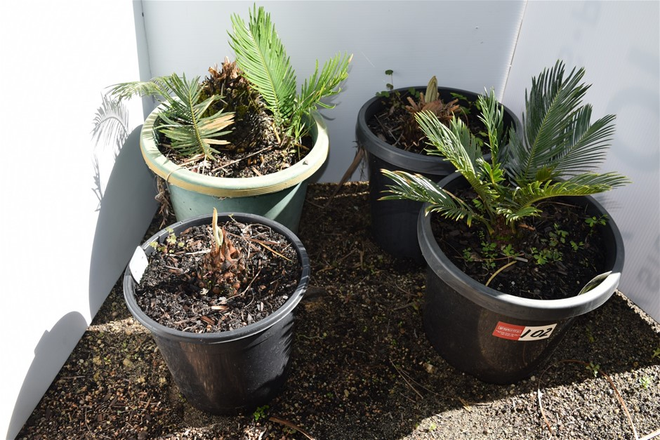 Lot of 4 Ferns in 300ml Pots