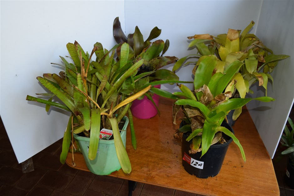 "Lot of 4 ""Bromeliads"" in 200ml Pots"