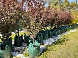 Prunus x Blireana ' Flowering Plum'